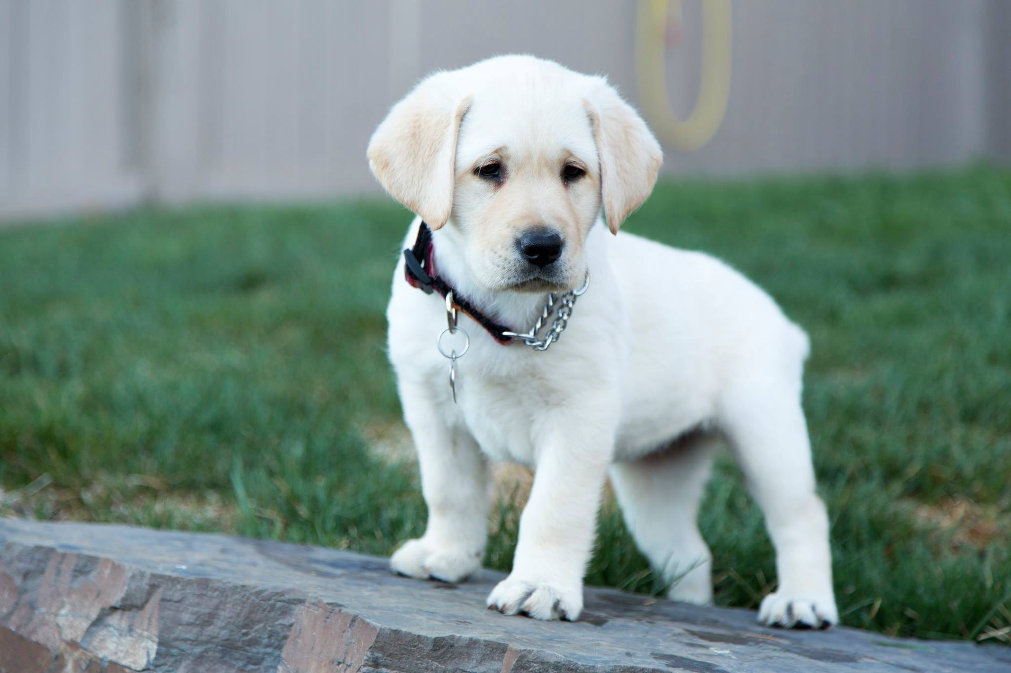 Puppy Training - BC and Alberta Guide Dogs