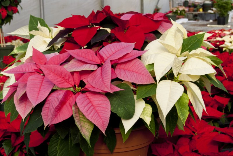 Poinsettia sale benefits our programs