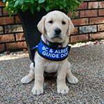 Puppy in Training Sage