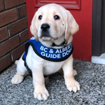 Sam - a small yellow Labrador puppy