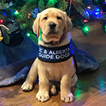 Faisy - a small yellow Labrador puppy sitting in front of a Christmas tree
