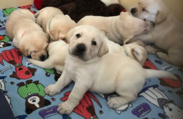 Cute yellow Labrador puppy looks longingly at the camera, surrounded by sleeping puppies