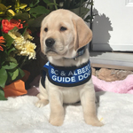 Blue Moon - a little yellow Labrador puppy in training