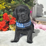 Bunker - a little black Labrador puppy in training