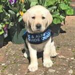 Lulu is a little yellow Labrador wearing her blue puppy in training jacket